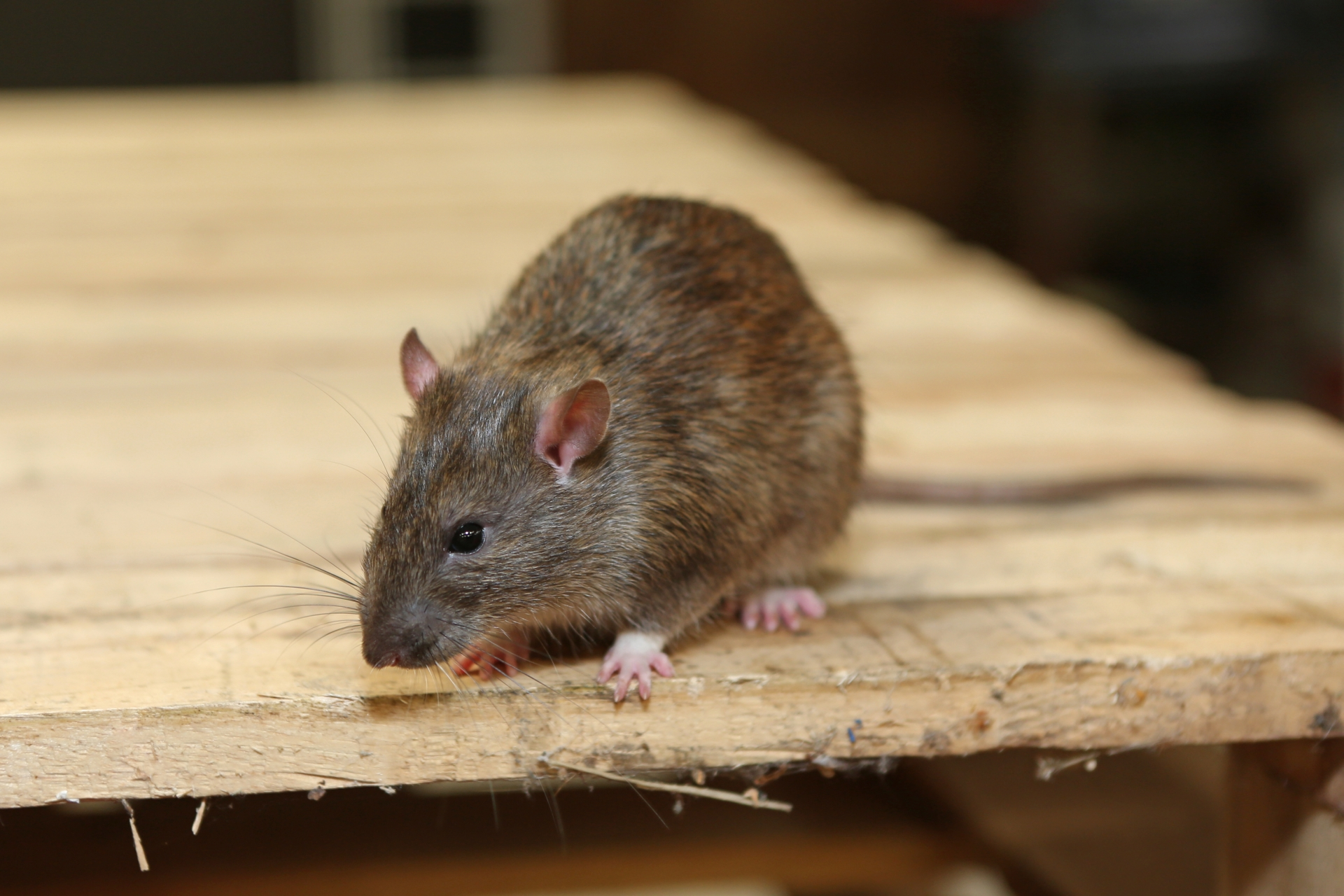 Rat Infestation, Pest Control in Tulse Hill, West Norwood, SE27. Call Now 020 8166 9746