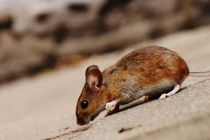 Mice Exterminator, Pest Control in Tulse Hill, West Norwood, SE27. Call Now 020 8166 9746